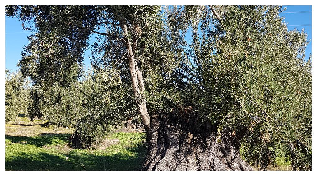 Aceites de Oliva Virgen Extra elaborados con olivos centenarios